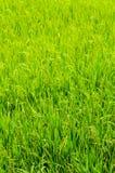 Gisement de riz Images libres de droits