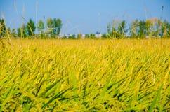Gisement de riz Images stock