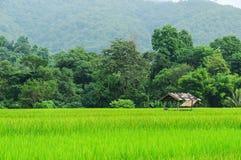 Gisement de riz Image stock