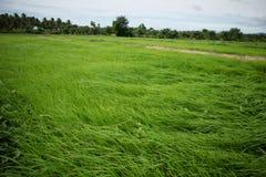 Gisement de riz Photo stock