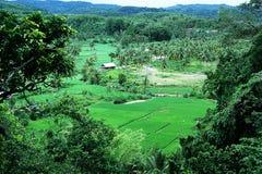 Gisement de riz au sumedang Java occidental Indonésie Photo stock