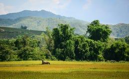 Gisement de riz au Vietnam du nord Image libre de droits