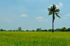 Gisement de riz avec la noix de coco et le ciel bleu images libres de droits