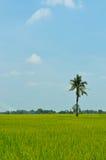 Gisement de riz avec la noix de coco sur le ciel bleu image stock