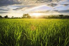 Gisement de riz avec le ciel Images libres de droits