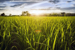 Gisement de riz avec le ciel Photographie stock