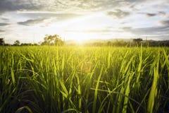 Gisement de riz avec le ciel Image stock