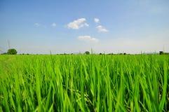 Gisement de riz avec le ciel bleu Photos stock