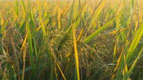 Gisement de riz avec pekalongan rentré par photo ensoleillée de lever de soleil du soleil de matin Photographie stock libre de droits