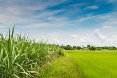 Gisement de riz, canne à sucre Image stock