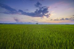 Gisement de riz, commune de Luong Ninh, Quang Binh Province, Vietnam photo stock