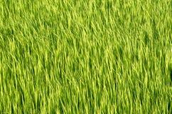 Gisement de riz d'herbe verte Images libres de droits