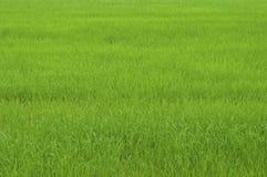 Gisement de riz d'herbe verte Images stock