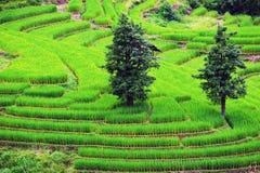 Gisement de riz d'opération Photos stock