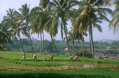 Gisement de riz dans Hampi, Inde Photos stock
