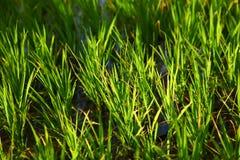 Gisement de riz dans l'Inde Images stock
