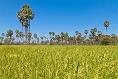Gisement de riz dans le pays asiatique photographie stock