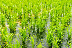 Gisement de riz dans le secteur de Taoyuan, Taïwan en avril 2016 Photos stock