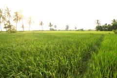 Gisement de riz dans les villages indiens du maharashtra photo libre de droits