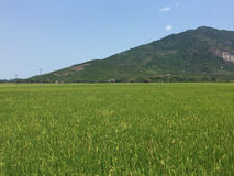 Gisement de riz dans Phu Yen, Vietnam Image stock