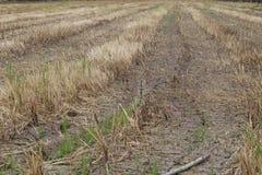 Gisement de riz de brûlure après moisson Photographie stock