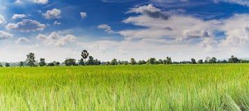 Gisement de riz de jasmin de paddy avec le ciel bleu Photographie stock libre de droits