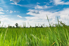 Gisement de riz de jasmin de paddy avec le ciel bleu Photos libres de droits