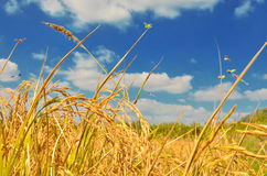 Gisement de riz en ciel bleu Photos stock