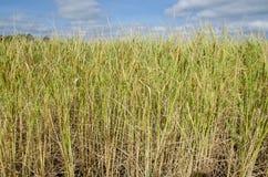 Gisement de riz en Thaïlande Photographie stock libre de droits