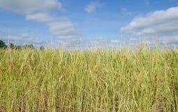 Gisement de riz en Thaïlande Photographie stock