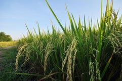 Gisement de riz en Thaïlande Photos stock
