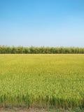Gisement de riz et ciel bleu d'espace libre Pour la conception avec l'espace de copie pour le te Photographie stock libre de droits