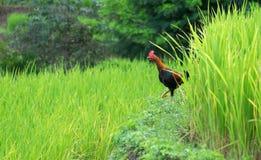 Gisement de riz et ferme de poulet en Thaïlande Image stock