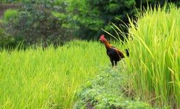 Gisement de riz et ferme de poulet en Thaïlande Images libres de droits