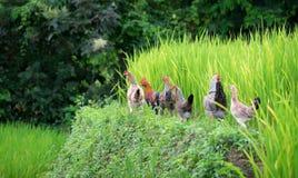 Gisement de riz et ferme de poulet en Thaïlande Photo stock