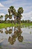 Gisement de riz et le palmier à sucre Photos libres de droits