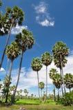 Gisement de riz et le palmier à sucre Image stock