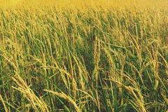 Gisement de riz de jasmin de paddy image libre de droits