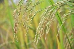 Gisement de riz non-décortiqué Photo libre de droits