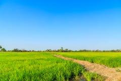Gisement de riz non-décortiqué Images stock