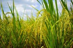 Gisement de riz non-décortiqué en Thaïlande photographie stock libre de droits