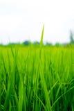 Gisement de riz non-décortiqué sur un fond blanc Photographie stock libre de droits