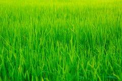 Gisement de riz non-décortiqué sur un fond blanc Images libres de droits