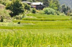 Gisement de riz ou rizière photographie stock libre de droits