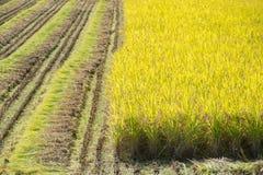 Gisement de riz pendant le temps de récolte Image libre de droits