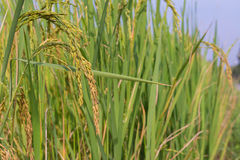 Gisement de riz (profondeur de champ) Photos stock