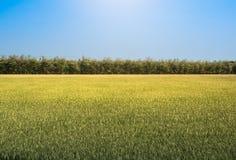 Gisement de riz sous le soleil et le ciel bleu d'espace libre Photo stock