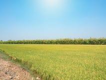 Gisement de riz sous le soleil et le ciel bleu d'espace libre Images libres de droits