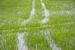 Gisement de riz sur la rizière Images libres de droits