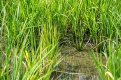 Gisement de riz sur la rizière Image libre de droits